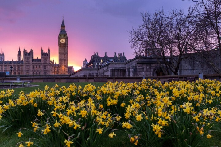Houses of Parliament and daffodils